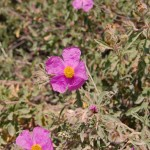 Cistus Incanus Blüte 2