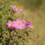 Cistus Incanus Pflanze